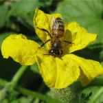 Фото: Опыление насекомыми