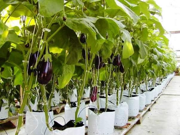 Посадка и выращивание баклажанов в теплице 47