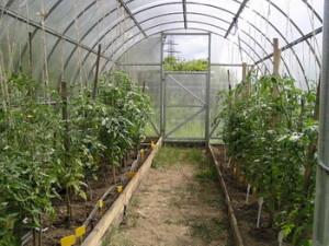 Посадка в теплице из поликарбоната — выращивание овощей в лучших условиях