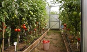 Фото: Выращивание овощей
