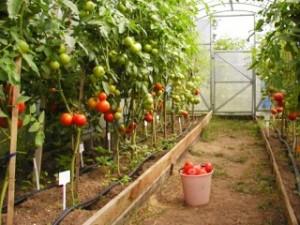 Томаты для теплицы из поликарбоната— достижение богатого урожая