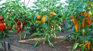 Перцы в теплице из поликарбоната — выращивание растений в закрытых тепличных условиях