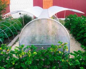 Фото: Выращивание культур в теплице