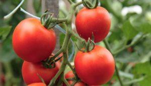 Фото: Качественные томаты