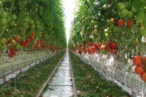 Фото: Богатый урожай